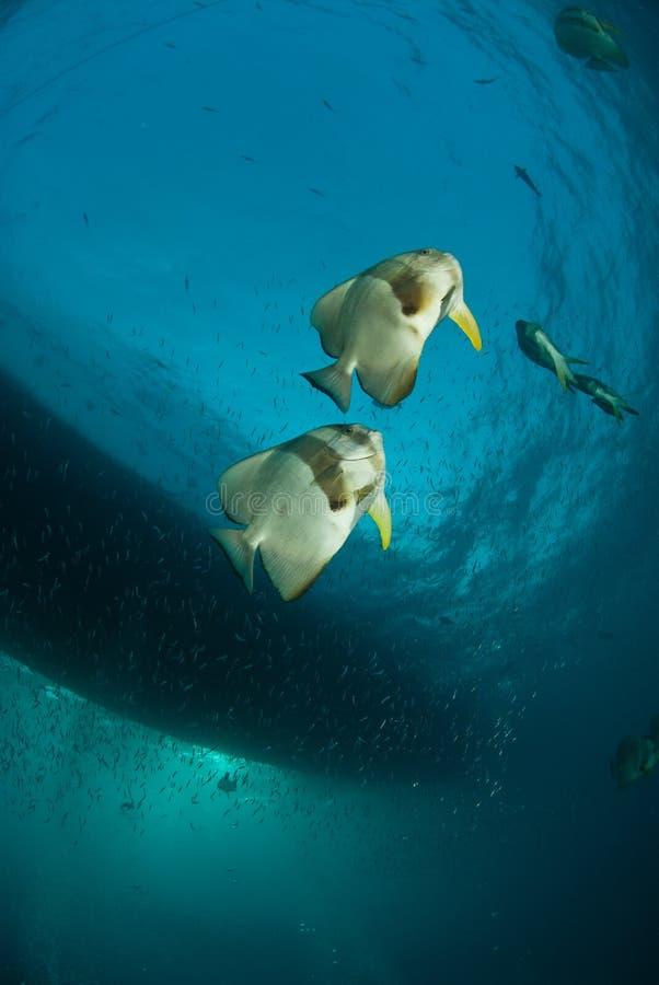 Batfish Pair Royalty Free Stock Image