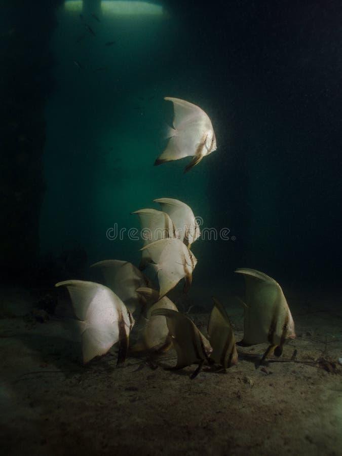 Batfish Pinnate - pinnatus de Platax image libre de droits