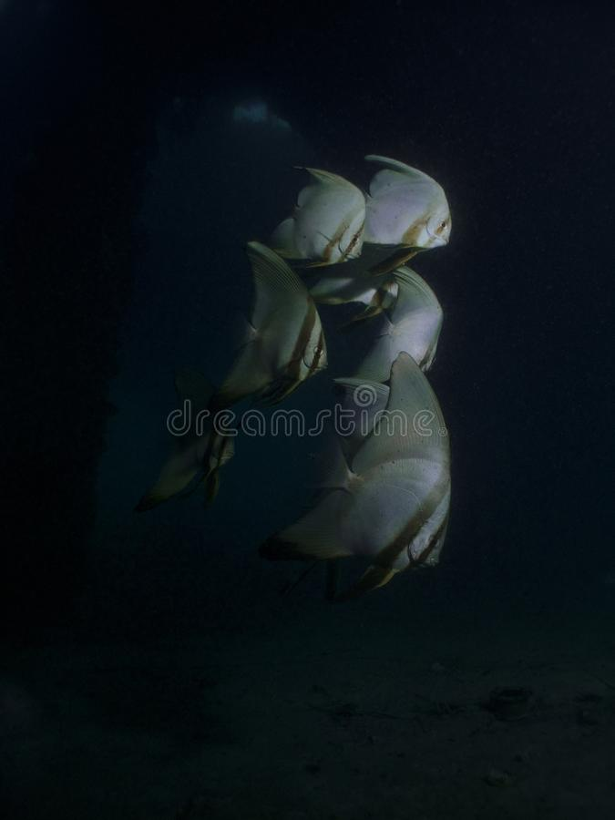Batfish Pinnate - pinnatus de Platax photographie stock
