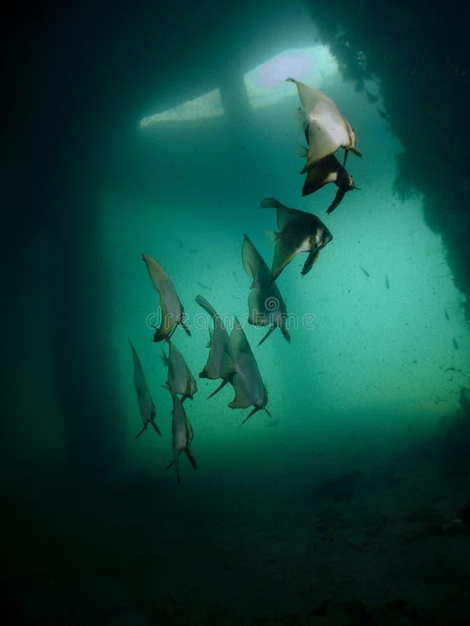 Batfish Pinnate - Pinnatus Di Platax Fotografie Stock