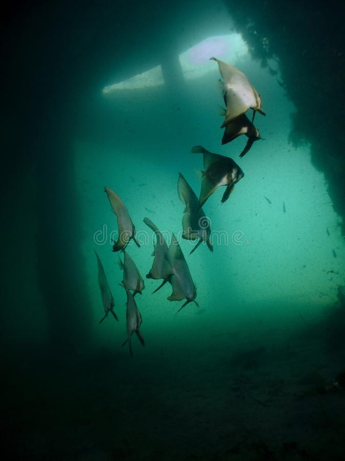 batfish pinnate pinnatus platax στοκ φωτογραφίες