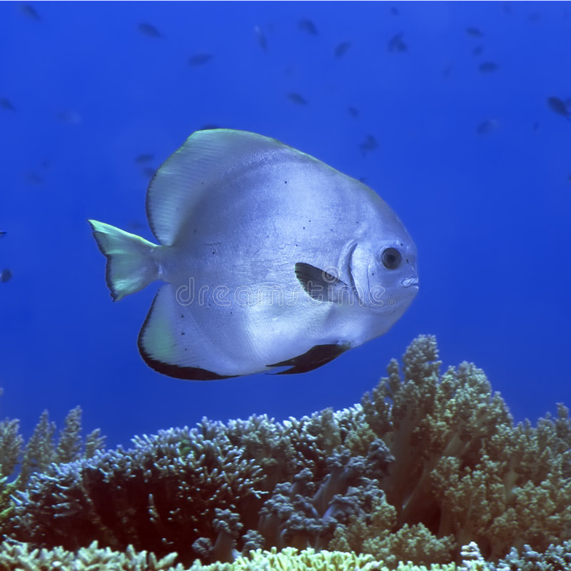Batfish tropical de poissons photographie stock