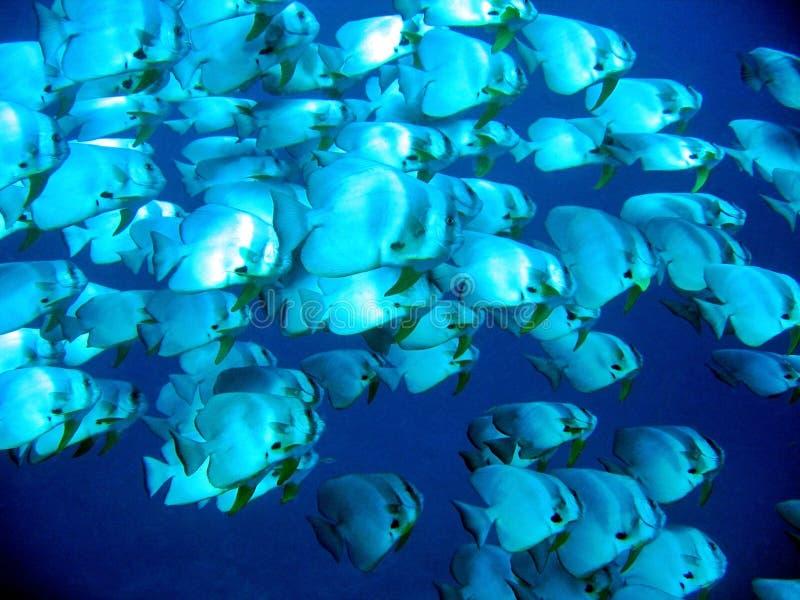 batfishskola arkivbild