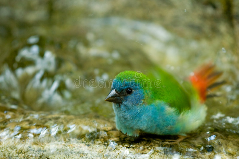 Download Colorful bird taking bath stock photo. Image of water - 6940928