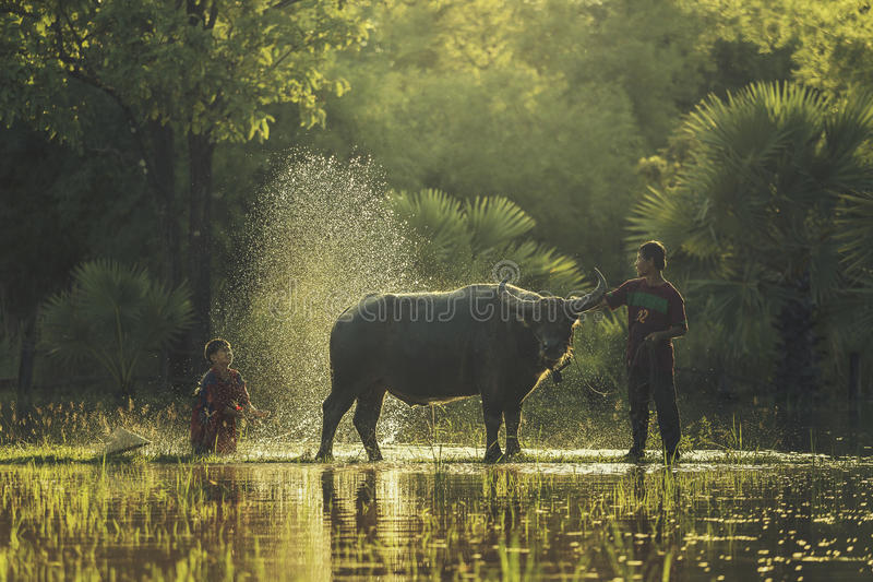 Bath buffalo farmer. Before plowing or workers buffalo buffalo royalty free stock image