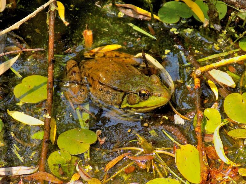 Bath de grenouille image stock