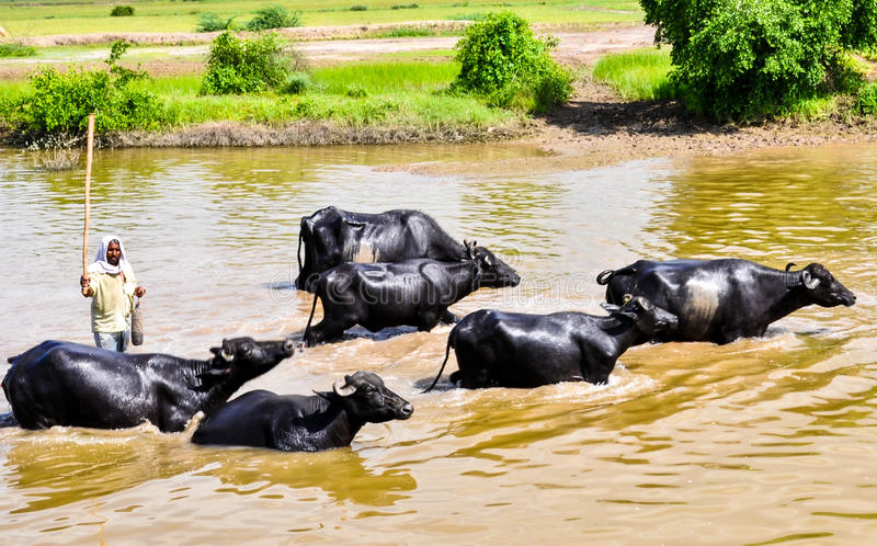 Bath in summer heat. Buffaloes enjoying a bath in a pond in India during summer time royalty free stock photos
