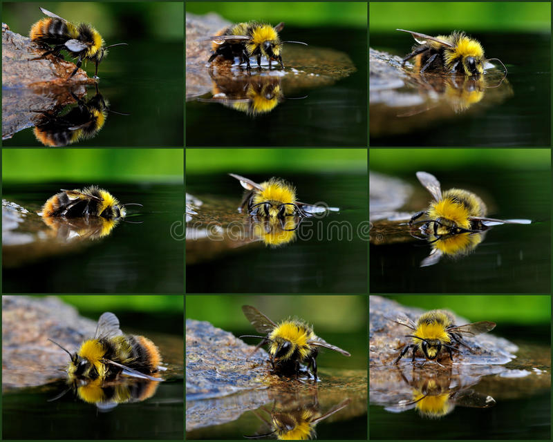 The bather bumblebee stock images