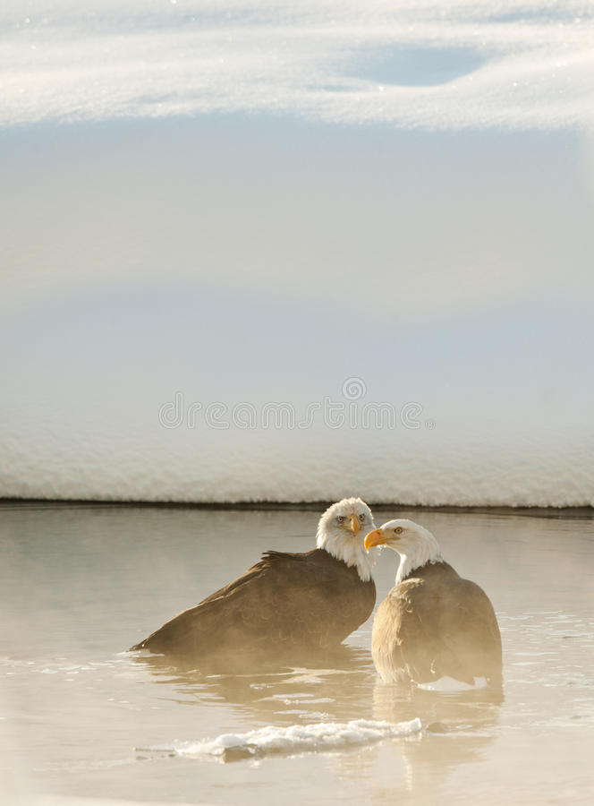 Bathing Bald Eagles Stock Photography