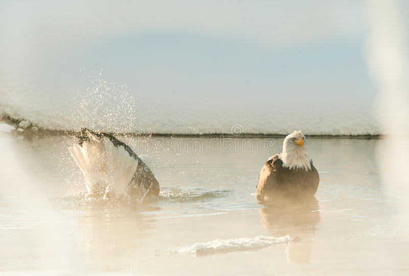 Download Bathing Bald eagles stock image. Image of nature, feathers - 22419997