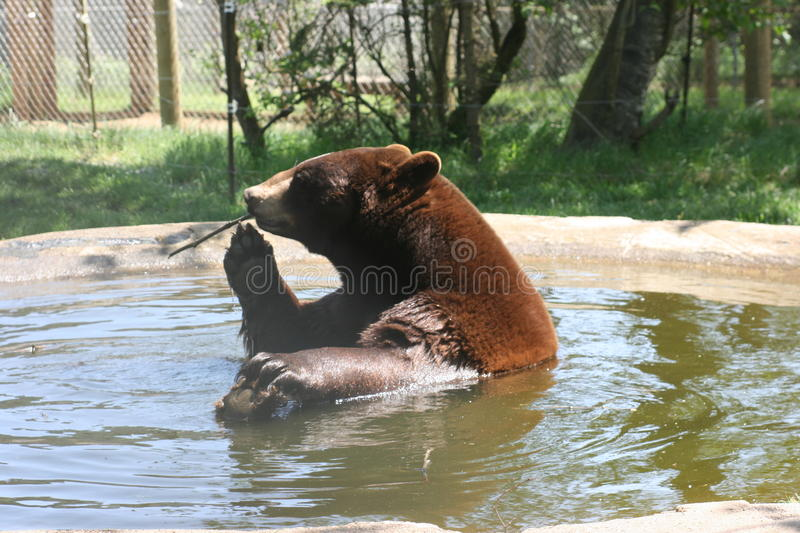 Download Bathing Beauty Bear stock image. Image of black, playful - 11053643