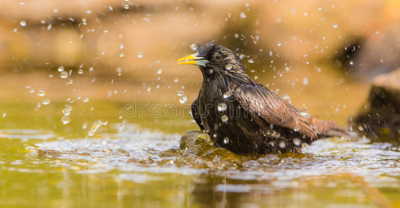 Bathing Common Starling. A Common Starling (Sturnus vulgaris) splashes with water while taking a bath in a pool royalty free stock photography