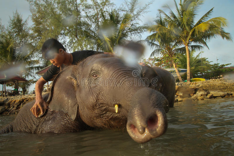 Bathing elephants in the Gulf of Siam royalty free stock image