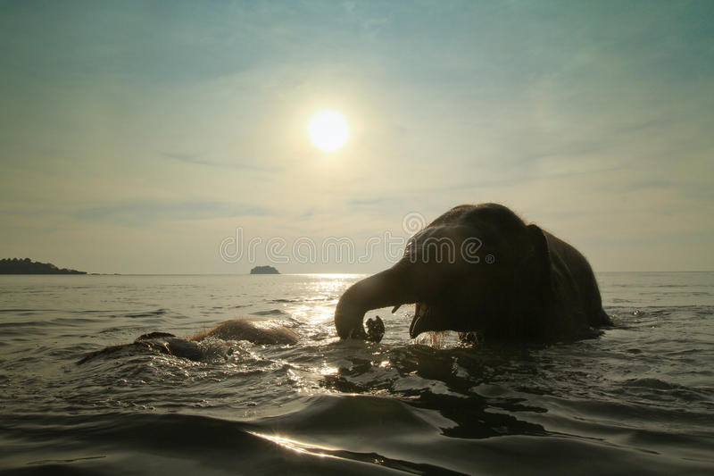 Bathing elephants in the sea royalty free stock photos