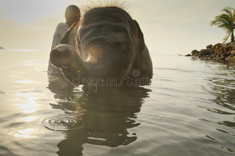 Bathing elephants in the sea in Thailand stock images