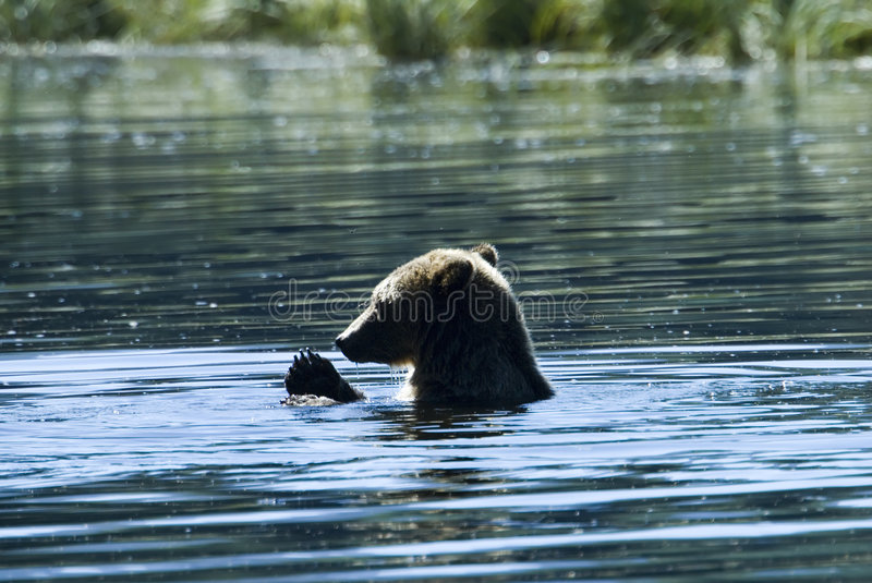 Download Bathing grizzly stock photo. Image of northamerica, columbia - 2351334