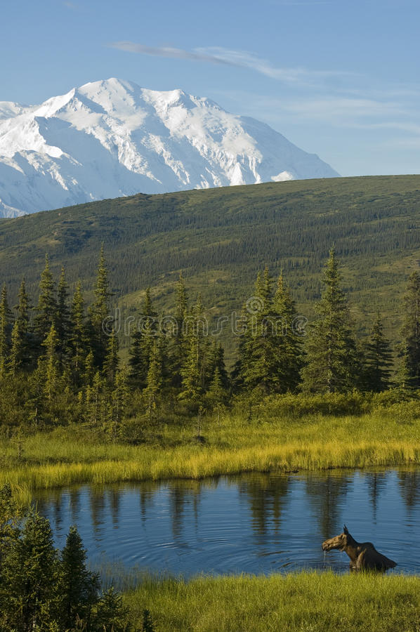 Bathing Moose. A moose bathes in a pond in Denali National Park, Alaska royalty free stock photography