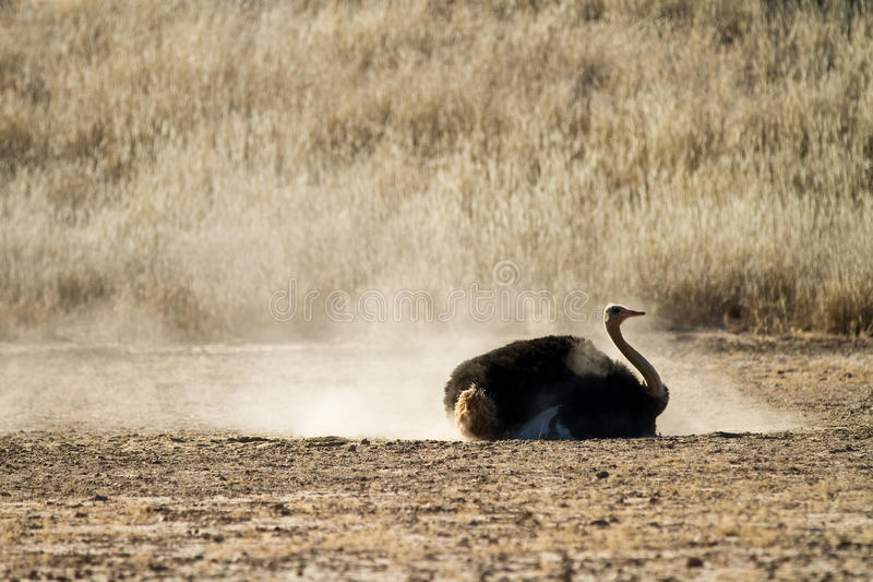 Bathing ostrich