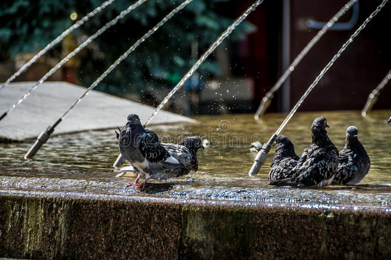 Bathing pigeons in city fountain stock photo