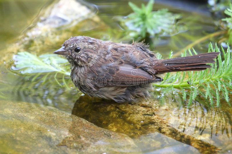 Bathing sparrow stock photography