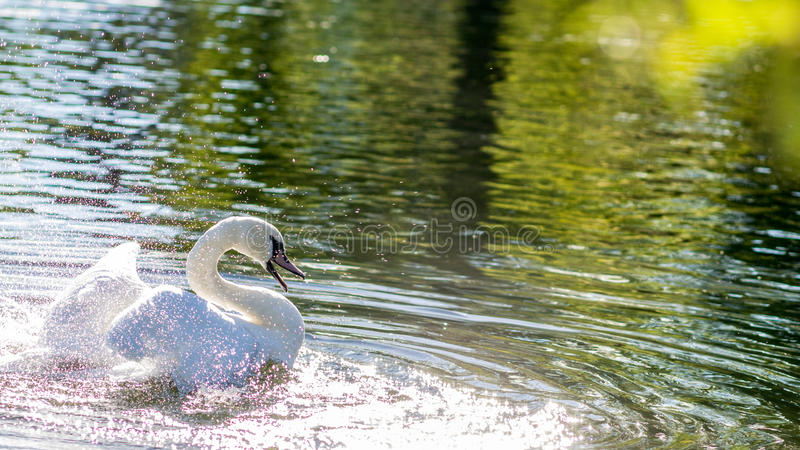 Bathing Swan. Swan bathing in glistening water spraying water droplets around. Image taken during a sunny autumn day. Wings folded up royalty free stock photo