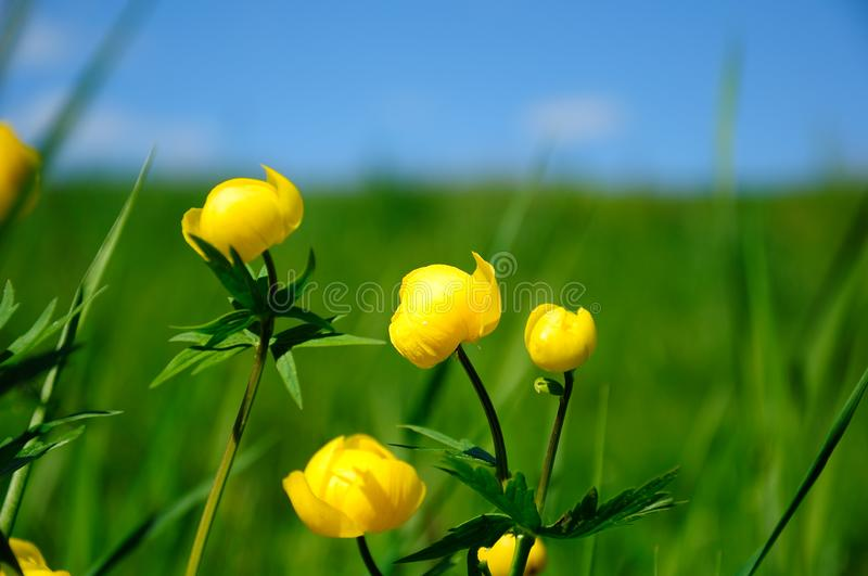 Bathing yellow flowers with grass royalty free stock photography