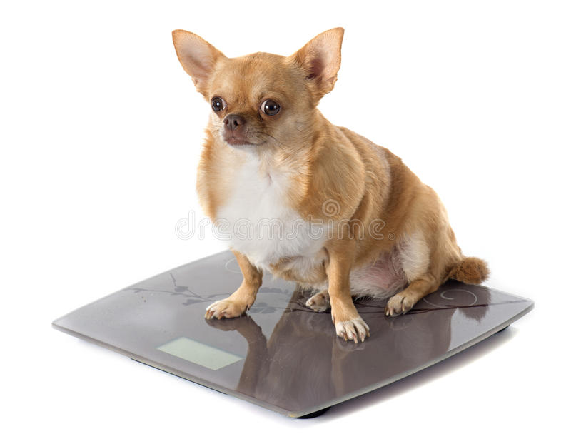 Bathroom scales and fat dog stock photos