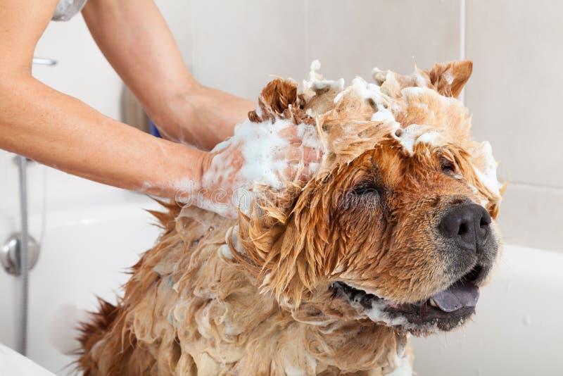 Bathroom to a dog chow chow. Bubble Bath a lovely dog chow chow royalty free stock photos