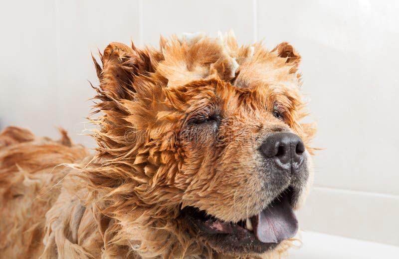 Bathroom to a dog chow chow. Bubble Bath a lovely dog chow chow royalty free stock photo
