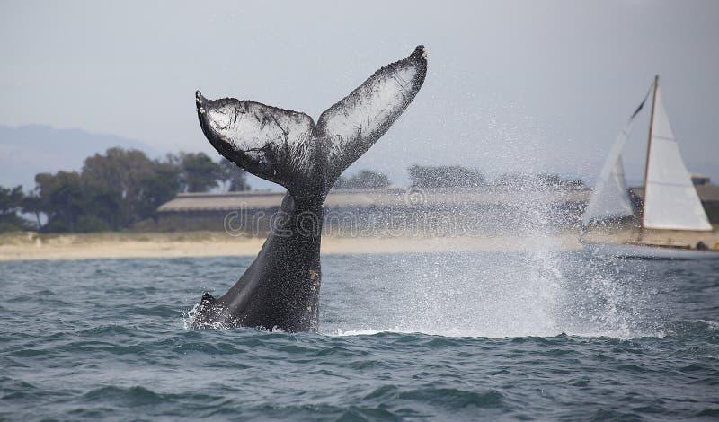Batida da cauda da baleia de corcunda fotos de stock