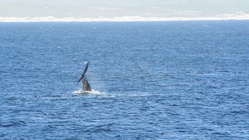 Batida da cauda da baleia direita vídeos de arquivo