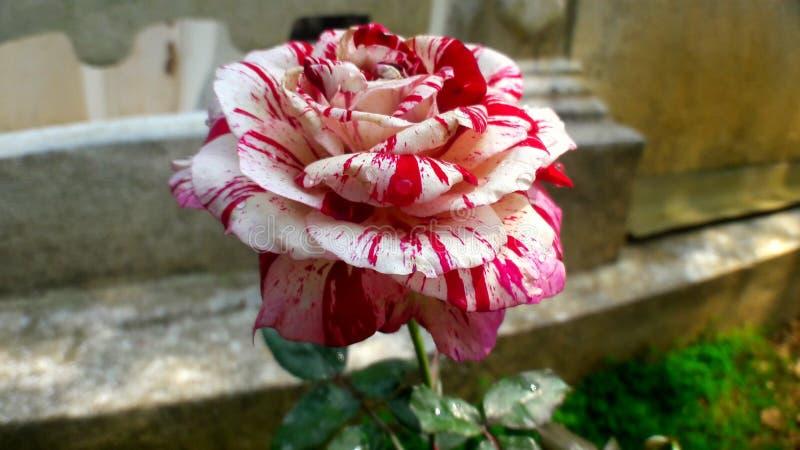 Batik rojo y blanco Rose 2018 imágenes de archivo libres de regalías
