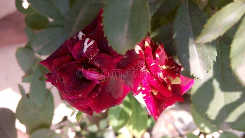 Batik Rosa fotografie stock libere da diritti