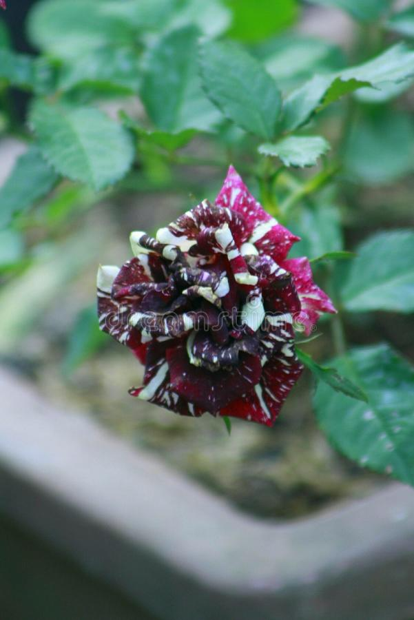 Batik Rose stock photography