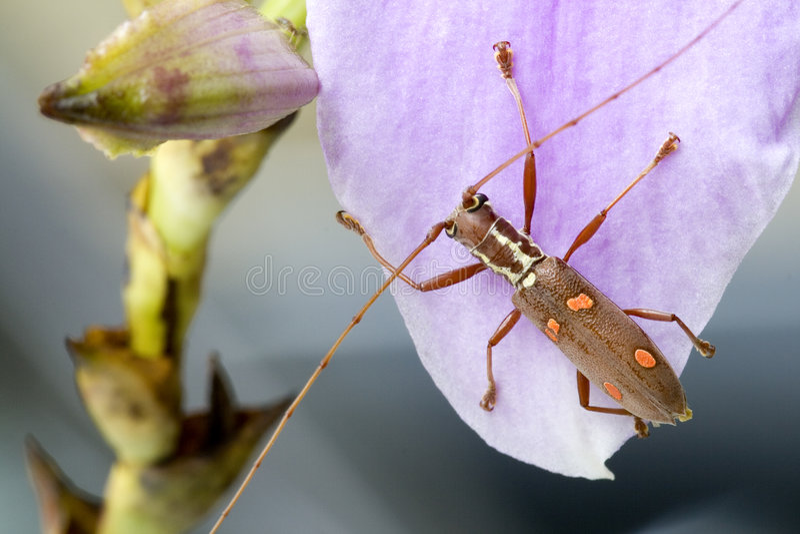 batocera chrząszcza longhornu sp obrazy stock