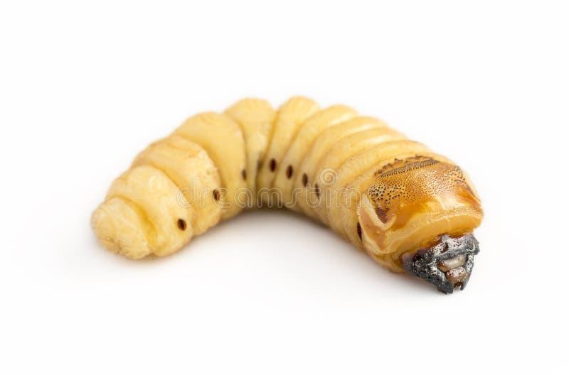 金龟子甲虫甲虫蠕虫是有芒果树钻眼工人的危险虫害 吃的Batocera rufomaculata作为可食的食物 免版税图库摄影