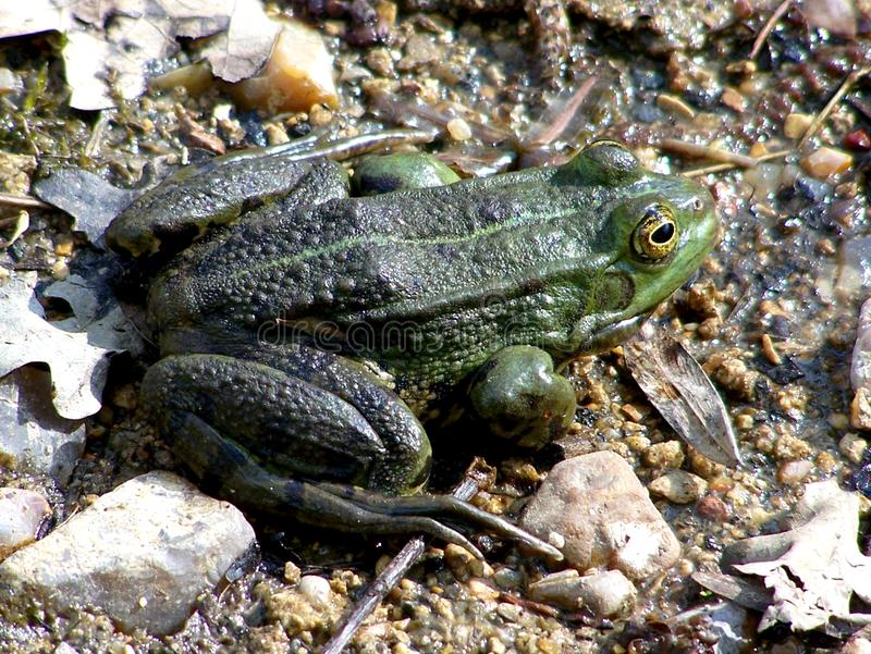 Frog at the edge of a pond. Batrachian living on the edge of ponds. Closeup on a beautiful frog in summer stock photo