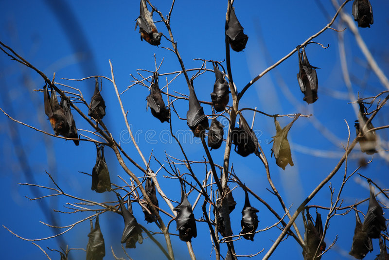 Bats 1. Bats asleep upside down in a tree stock photography