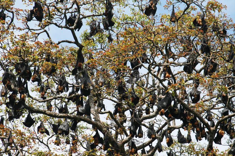 Bats. Many bats on a tree inside the botanical garden of kandy in sri lanka royalty free stock images