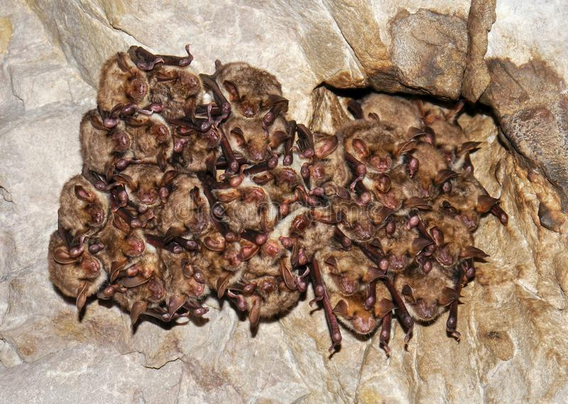 Bats. A large group of bats in a cave stock photography