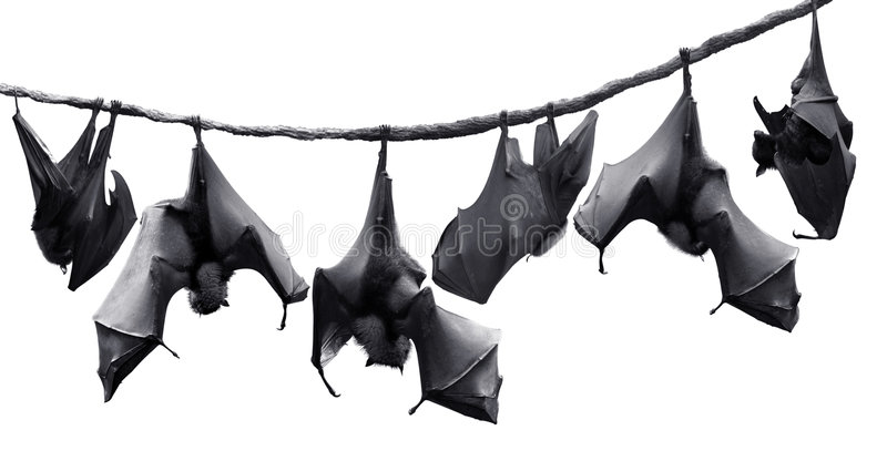 Bats. Flock of bats hanging on vines