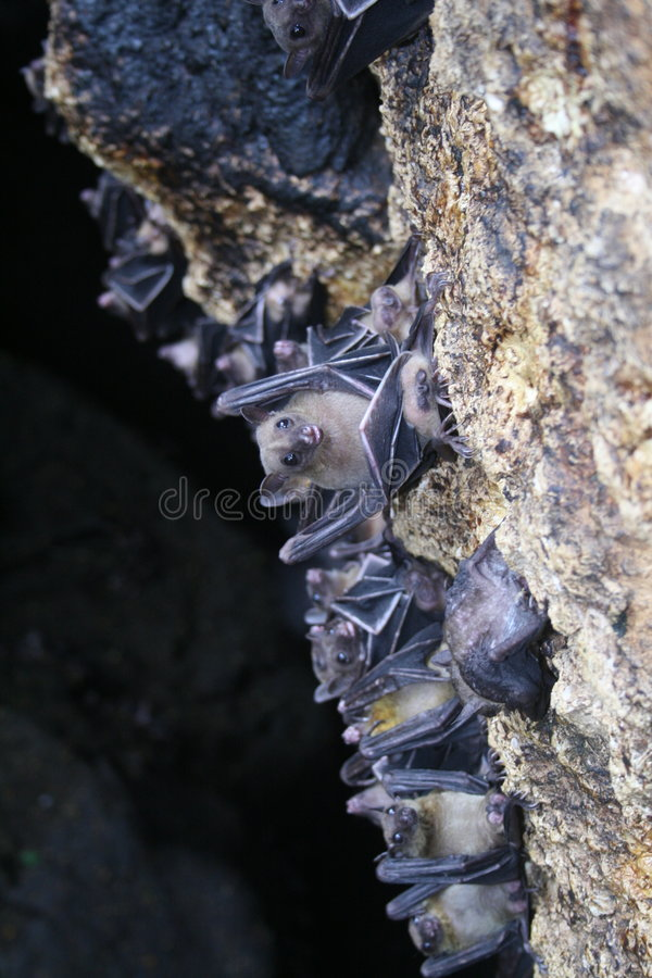 Bats royalty free stock photography