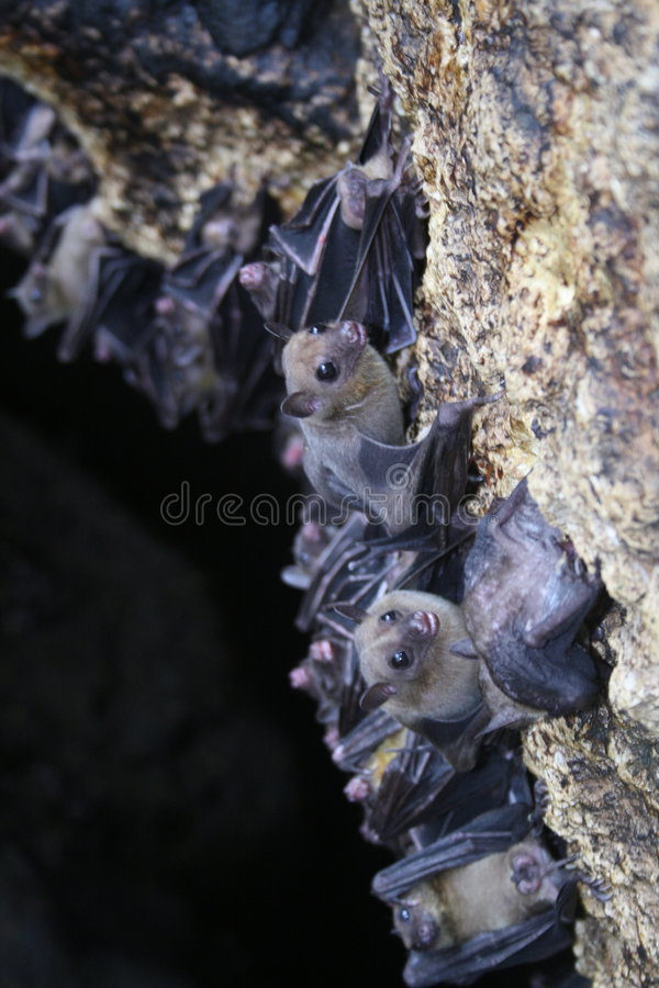 Bats. Hanging bats in a cave in the philippines royalty free stock photos