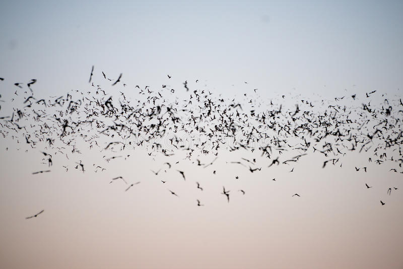 Bats Flying in a Line. Mexican Free-Tailed Bats leaving a south Texas cave royalty free stock photo