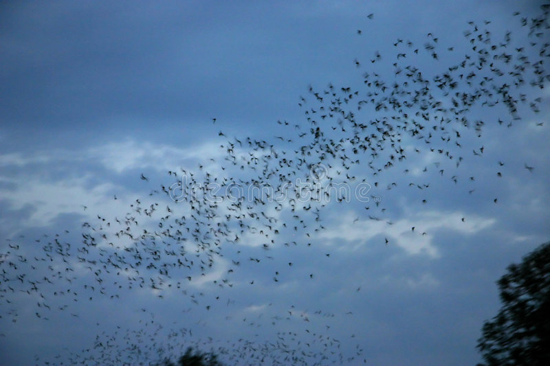 Bats flying out. Of their bridge in Austin texas stock photography