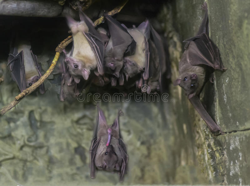 Bats. A group of bats and one engaged in oral sex stock photos