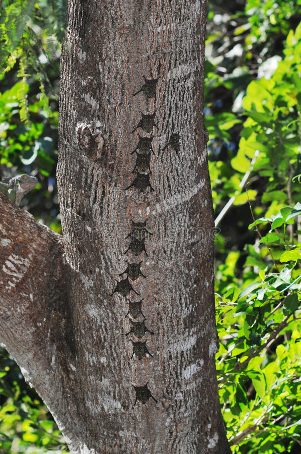 Download Bats In A Row On Tree Trunk Stock Photo - Image of animal, costa: 36757916