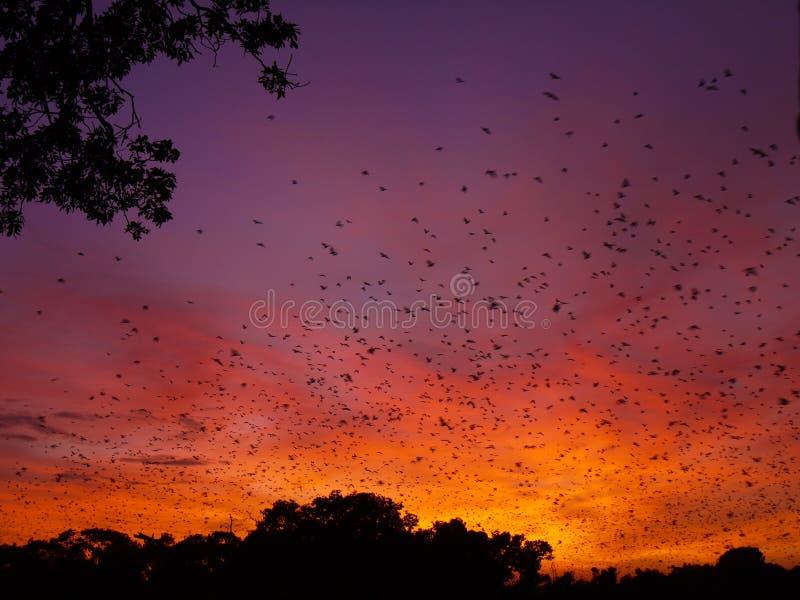 Bats at sunrise stock photography