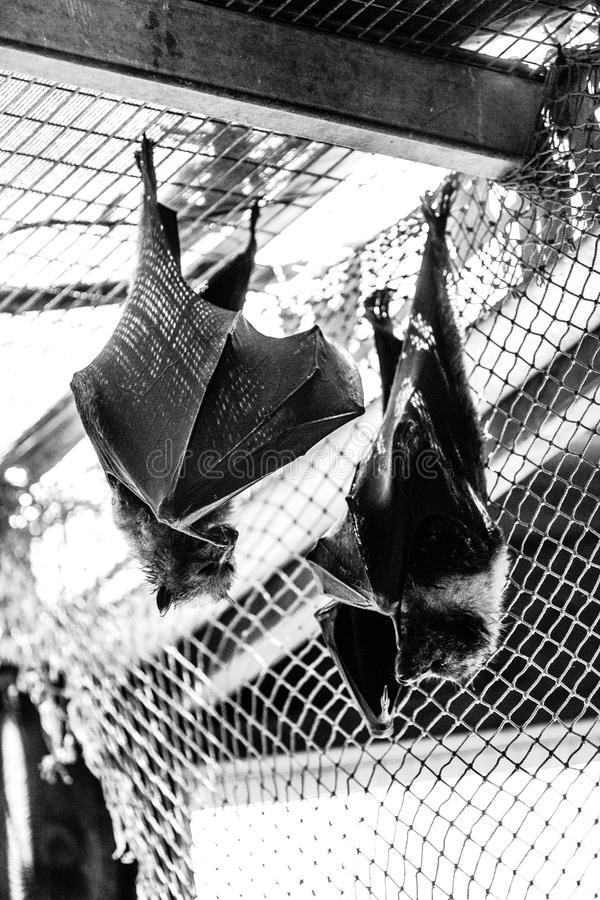 Bats. Two bats hang upside down stock images