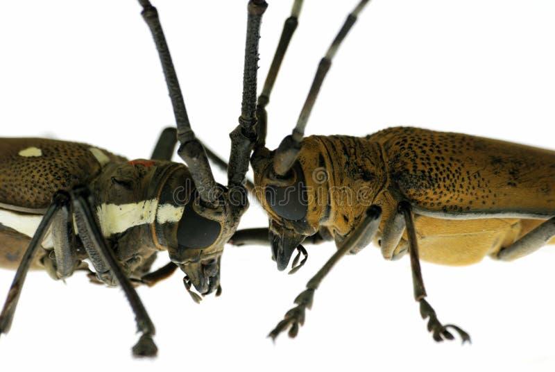 Battaglia dello scarabeo fotografie stock